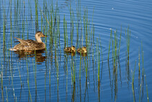 Mother Mallard Duck With Two Small Ducklings Swimming In A Blue Pond With Green Reeds