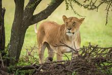 Lioness Stands Looking Past Thornbush In Grassland