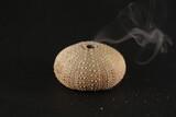 Fototapeta Fototapety z morzem do Twojej sypialni - Sea urchin skeleton smoke