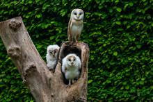 Barn Owl Family (Tyto Alba)