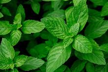 Mint Leaves, Fresh Green Mint Leaves, Mint Leaves