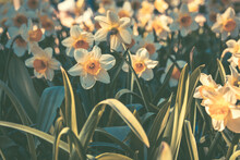 Closeup Shot Of Blooming Narcissus Flowers In The Garden