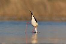 Black-winged Stilt With Head Under Water