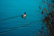Male Mallard Duck Swimming In A Pond