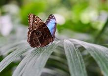 Morpho Peleides (Peleides Blue Morpho) Butterfly On Leaf