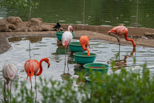 Group Of White And Pink Flamingos At The Zoo