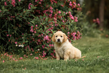 Happy Golden Retriever Puppy Outdoors In Summer. Happy Smiling Golden Retriever Puppy Dog In The Purple Flowers  In Sunny Summer Morning. Pets Care And Happiness Concept.