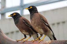 Mynah Birds In Nature