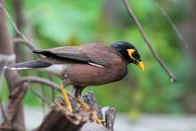 Mynah Bird In Nature