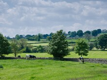 Holstein Friesian Cows Grazing In A Field In Wensleydale, North Yorkshire During Sunny Summer Weather.