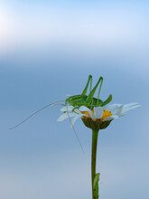 A Green Grasshopper Is Sitting On A Chamomile. Macro. The Background Is Blue, Blurred.
