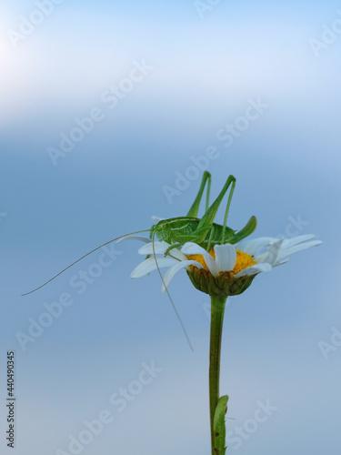 Obraz na plátně A green grasshopper is sitting on a chamomile