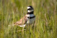 Killdeer (Charadrius Vociferus) Bird Standing In Tall Green Grass Close Up Wildlife Background