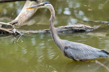 N. American Great Blue Heron Stands In A Pond With Driftwood Or Waterlogged Timber In The Background
