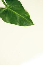 Lush Green Elephant Ear Leaf On Plain White Background