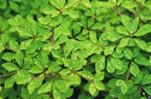 雨滴のついた新緑の葉