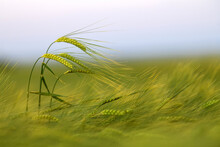 Green Wheat Spike In The Field In The Evening Light