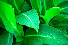 Green Background Of Banana Leaves With Dew Drops. Mysterious Forest. Tropics. Copy Space For Text.