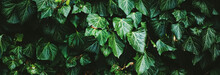 Green Shrub Wall As Plant Texture, Nature Background And Botanical Design.