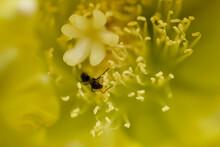 ウチワサボテンの花と蟻