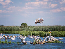 Backgound Of Pelicans Colony In The Estuary Of Dniester River