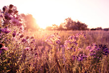 Soft Focused Autumn Wild Grass And Flowers On A Meadow In The Rays Of The Golden Hour Sun. Seasonal Romantic Artistic Vintage Autumn Field Landscape Wildlife Background With Morning Sunlight