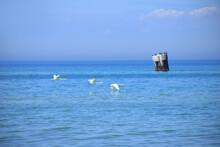 Flying Swans On The Coast From Baltic Sea In Western Pomerania Lagoon Area National Park, Darss Peninsula - Germany