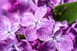 Leinwandbild Motiv Lilac flowers macro