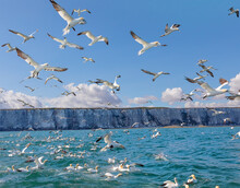 A Flock Of Northern Gannets Flying In The North Sea Near Bampton Cliffs, Yorkshire Coast, UK