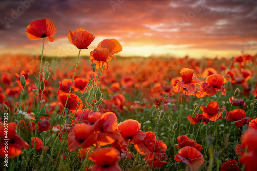 Obraz na płótnie The Sun setting on a field of poppies in the countryside, Jutland, Denmark