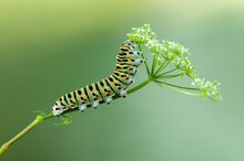 Butterfly Caterpillar Papilio Machaon On A Forest Plant On A Summer Day