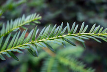 Taxus Cuspidata Close-up, Abstract Nature Background