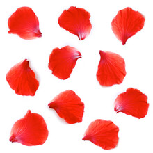 Petals Of Hibiscus Flower Or Chinese Rose, Hawaiian Hibiscus,Shoe Flower, Isolated On White Background