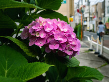Blooming Pink Hydrangea Close Up