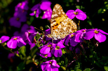 Painted Lady Vanessa Cardui On Moss Phlox Subulata Plant In Bloom. Butterfly Collects Nectar And Pollen From Purple Flower On A Sunny Day In Garden. Germany, RLP. Side View, Insect With Closed Wings