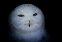 Detail Portrait Snowy Owl
