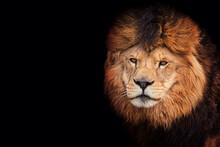 Lion Portrait Detail