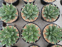 Agave Victoriae-Reginae Leaves Are Short, Stiff And Thick In Green. It Has A Distinctive White Pattern. There Are Sharp Thorns At The End Of The Leaf.