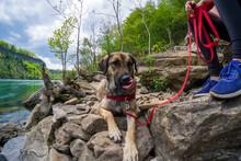 Rescue 1-yea-old Puppy Anatolian Shepherd Mix Dog Enjoying The Outddors