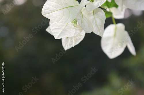 bougainvillaea white flower hanging from a branch in sunny day with copy space Fototapet