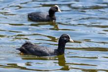 Eurasian Coots Swimming In Lake
