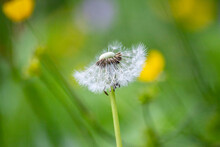 Large White Dandelion Puff Flower As A Close-up