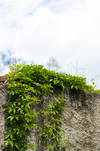 Obraz na plátne Plants growing on stone wall