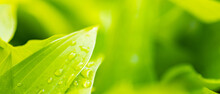 Water Drops On Green Leaf. Nature Green Leaves With Raindrop Background. Green Hosta Leaf In The Sunlight. Ecology Concept. Selective Focus