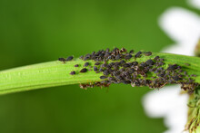 Many Black Aphids Are On The Stem Of A Daisy, With A Few Ants In Between, Against A Green Background In Nature