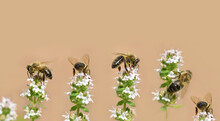 Several Honey Bees Are Sitting On Different Stems Of Wild Marjoram Against A Light Background