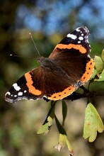 Red Admiral Butterfly In Fall Season, Sky Background