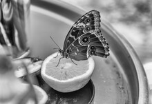 Morpho Peleides,  Tropical Butterfly, Eating From An Orange