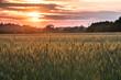 kłosy zboża na tle zachodzącego słońca