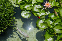 Top View Pink Water Lily With Leaves, Lotus Flower And Coin Fish In A Pond